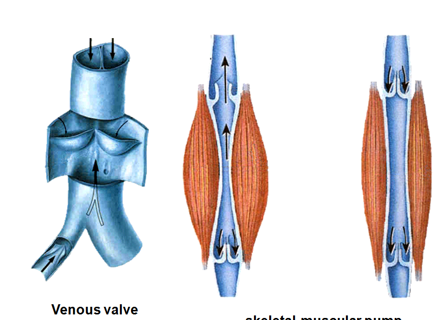 Anatomy of human body organs male