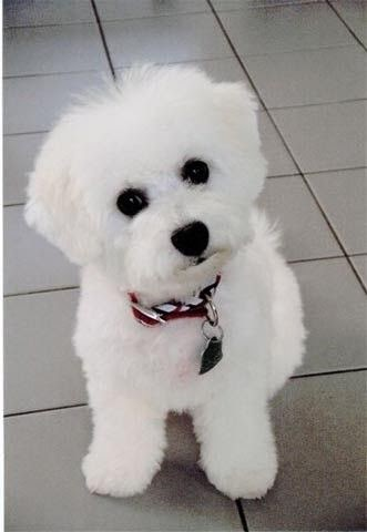 3 Top Bichon Puppy
