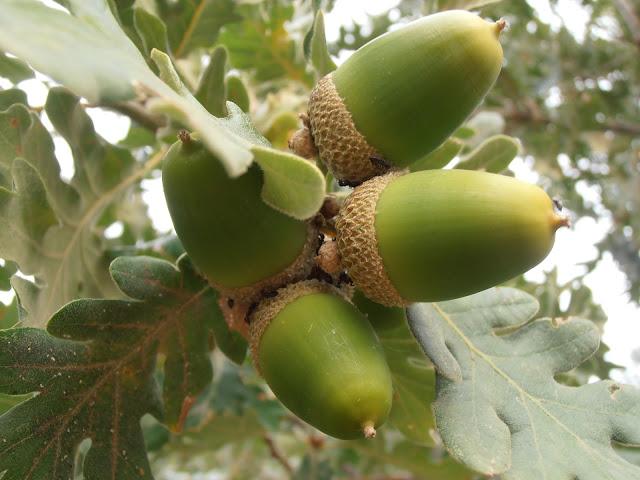 REBOLLO: Quercus pyrenaica