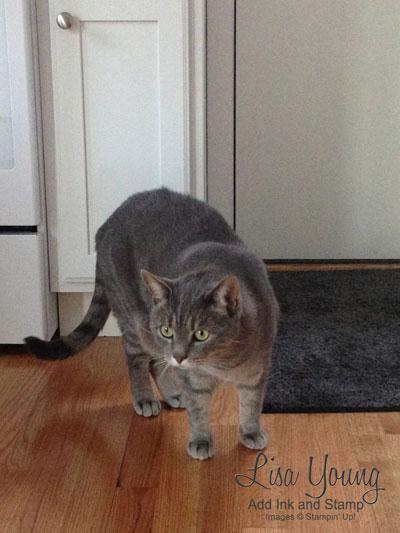 Male, Gray Tabby cat