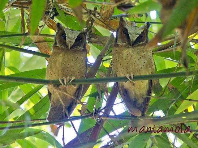 Kaeng Krachan, White Fronted Scops Owl