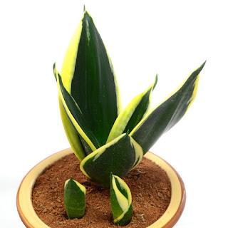 Jual Sansevieria black gold | tanaman yang dapat menyerap racun di dalam ruangan