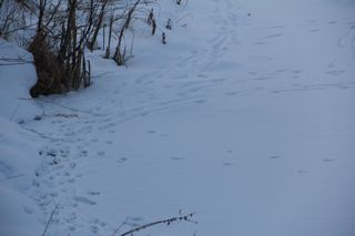photo of animal tracks in the snow