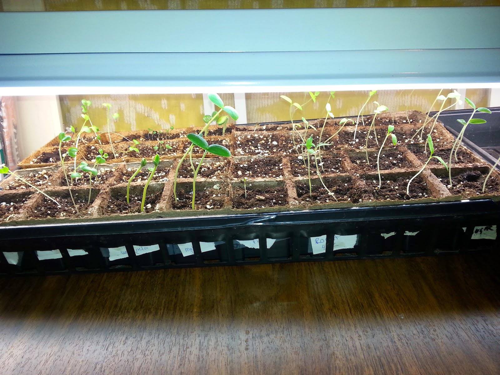 how to fix leggy sunflower seedlings
