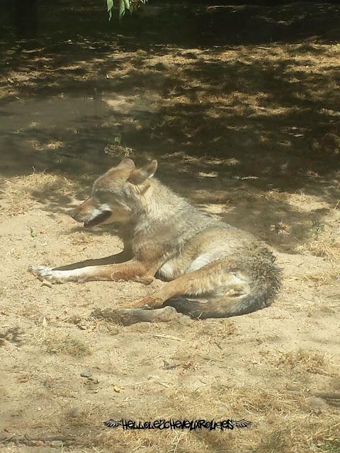 Loup couché dans son enclos à Touroparc