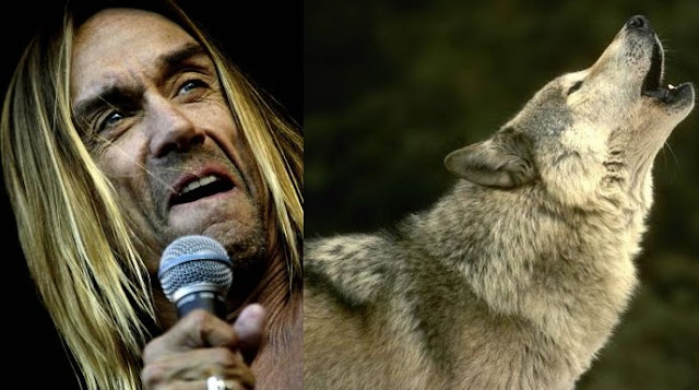 Rock Legend Iggy Pop Urges Gov. Snyder to Cancel Wolf Hunt, and Let the People Decide