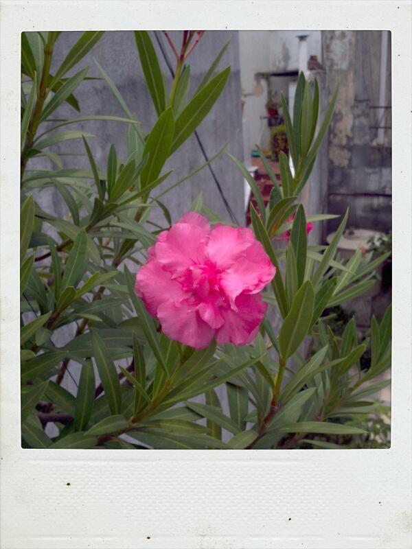 Bonsais alejandro manno bons i de laurel de jardin for Laurel de jardin