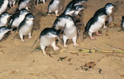 Остров Пингвинов Австралия, штат Виктория,  посетить, стоимость, цена, купить