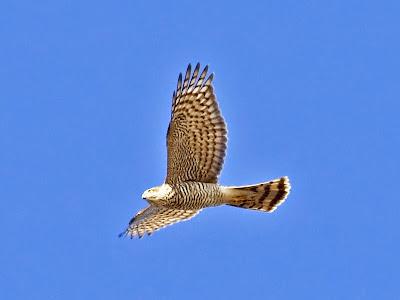gabian voando nunha ruta para ver aves