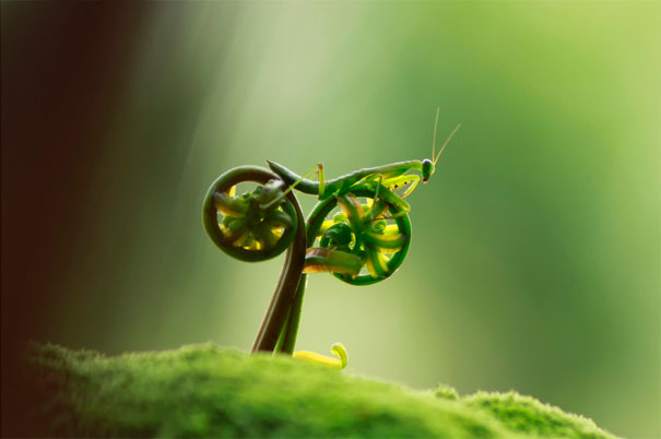 Praying mantis riding two sprouting ferns