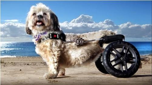 Cuccioli che passione cane paralizzato corre di nuovo for Vecchio in sedia a rotelle