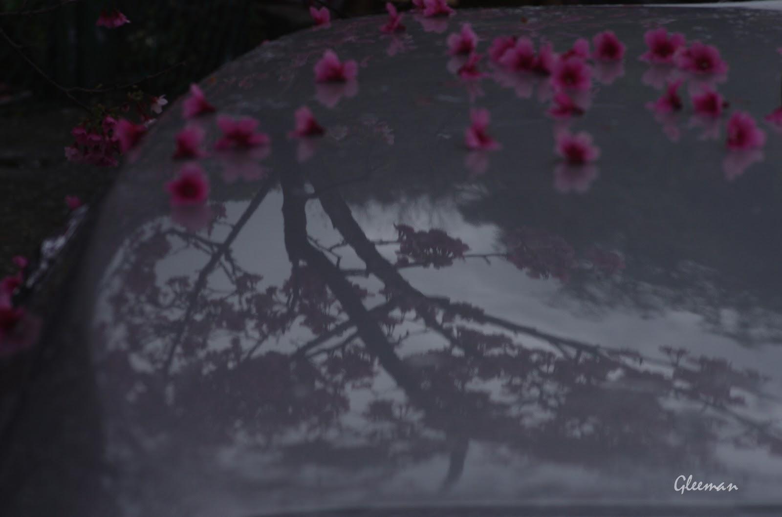 雞南山腳的美麗櫻花。倒影。