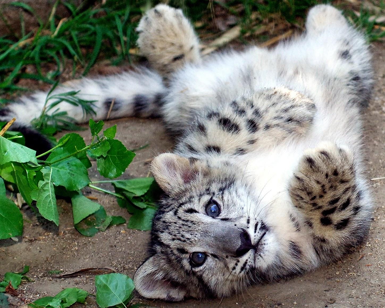 leopardo-das-neves-filhotes