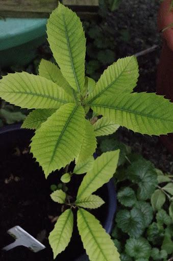 Esskastanie - vom Kern zur Pflanze