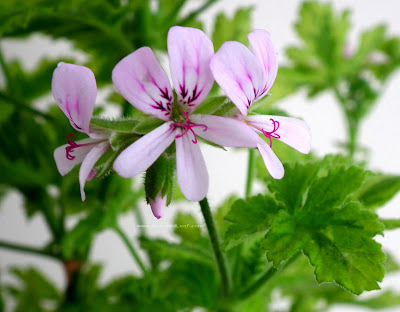 Pelargonium Charity flowers