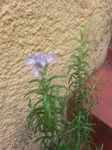 En medio de las sombras y a medio verano ha florecido mi romero