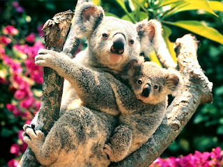 koala albino lucu bear bag baby pets australia animal wallpaper