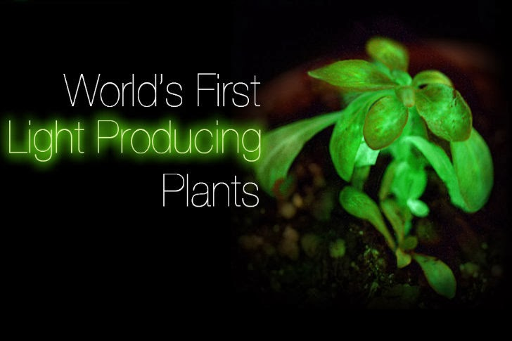 Bioglow's Starlight Avatar is the World's First Light Producing Plant