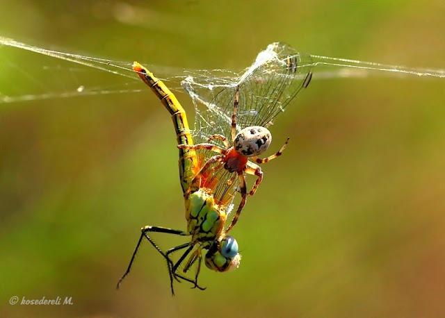 yusufçuk böceği ve örümcek