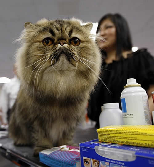Toelettare Il Gatto A Pelo Lungo Pets Life
