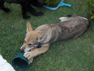 Canens Africae chiens loups de saarloos