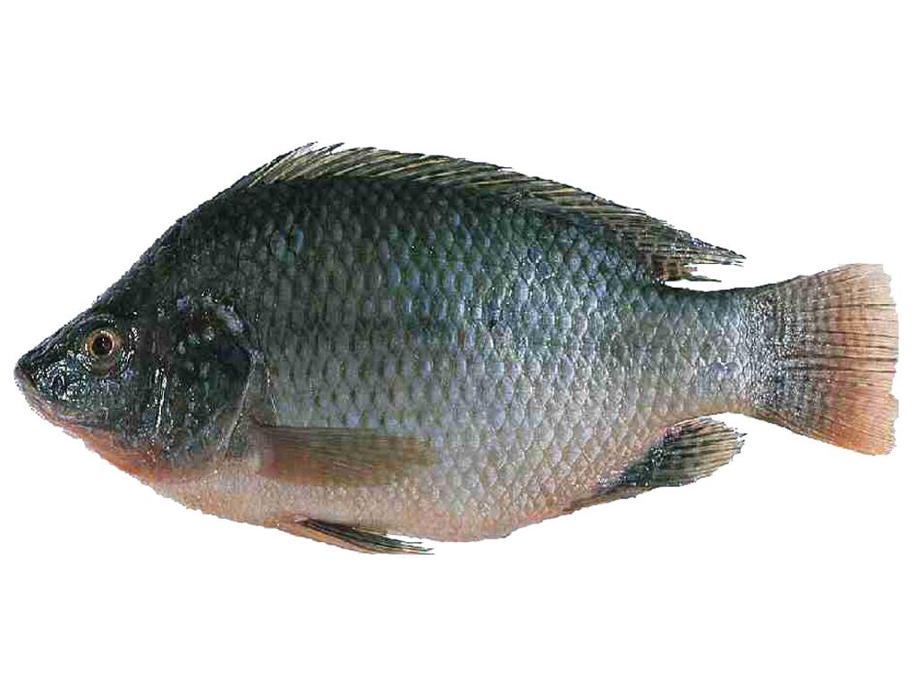 Tilapia fish farming modern farming methods for Tilapia fish farming