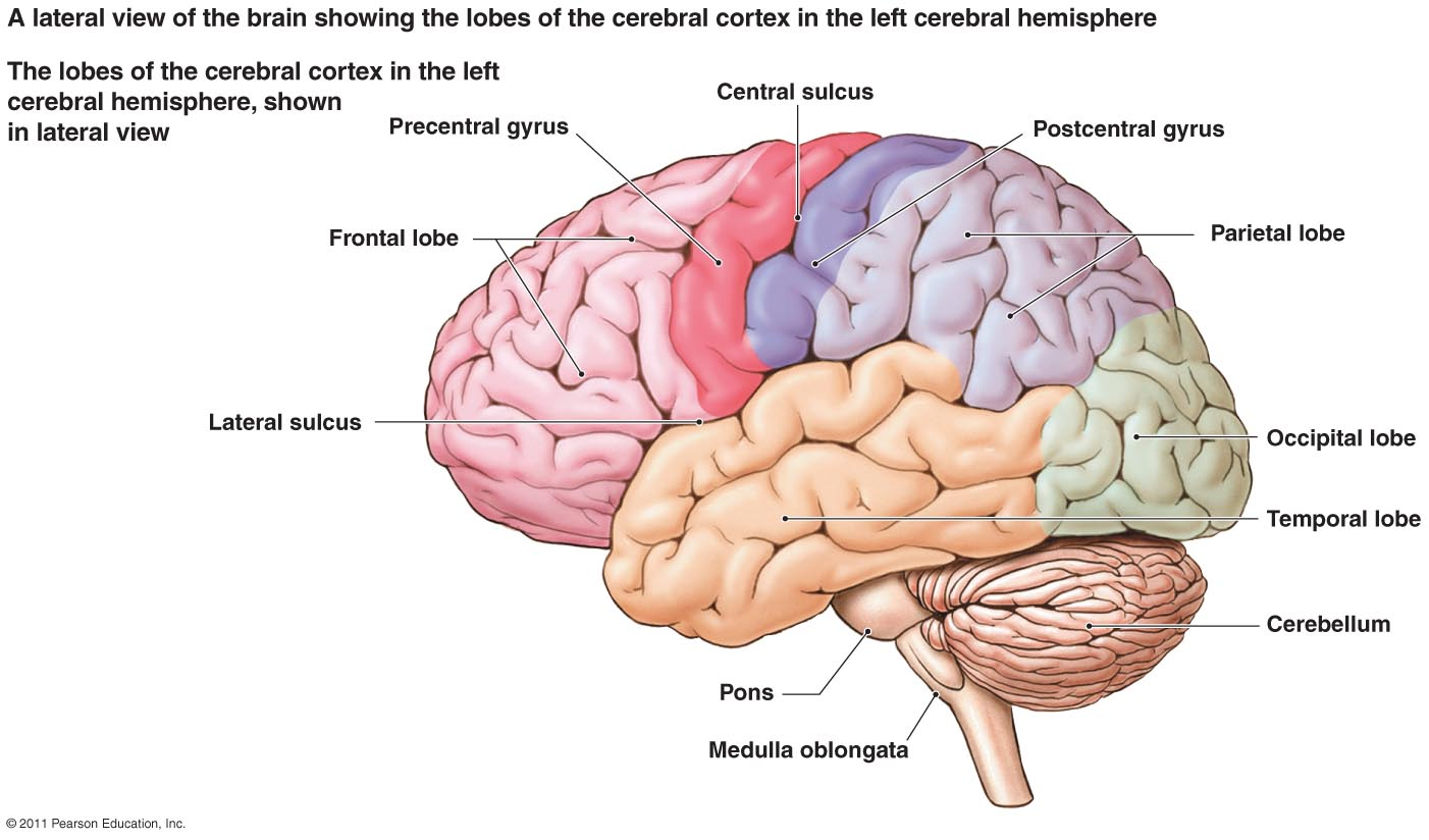 Brain Jack Image: Brain Diagram