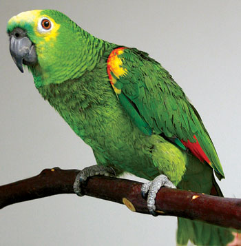 parrot price in chennai