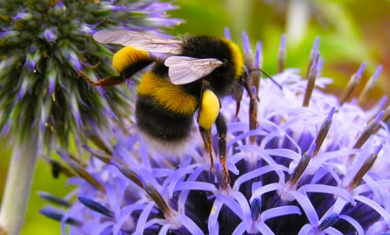 Bumblebee conservation IELTS