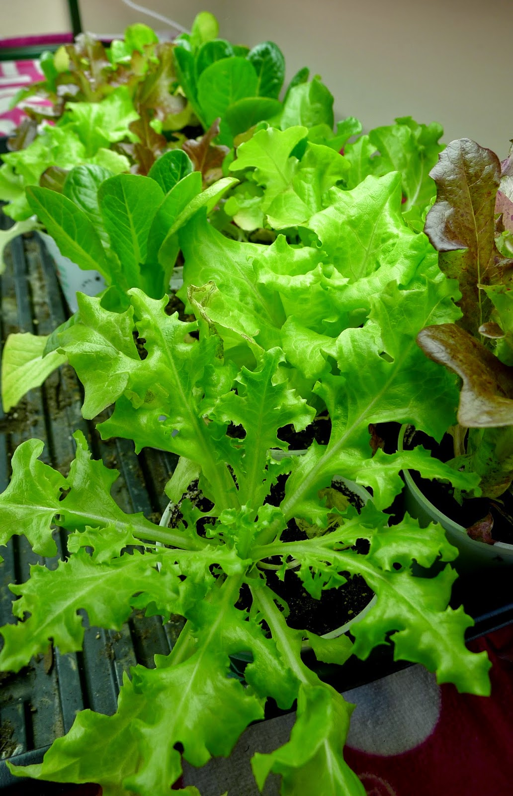 Lettuce grown under grow lights