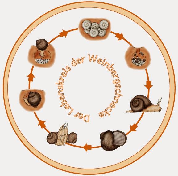 krabbelwiese: Die Weinbergschnecke
