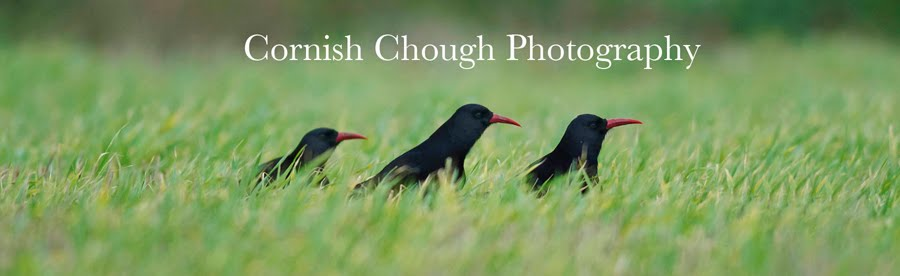 Cornish Chough Photography