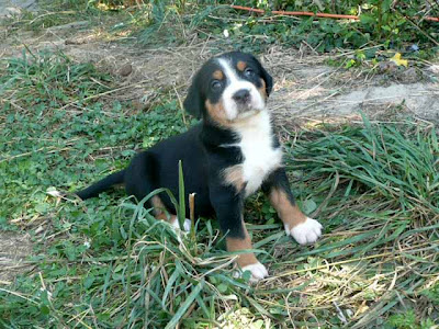 Great Swiss Mountain Puppies Pictures