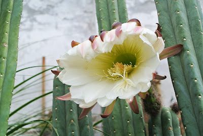 Flowering stand of San Pedro cacti (Trichocereus pachanoi)