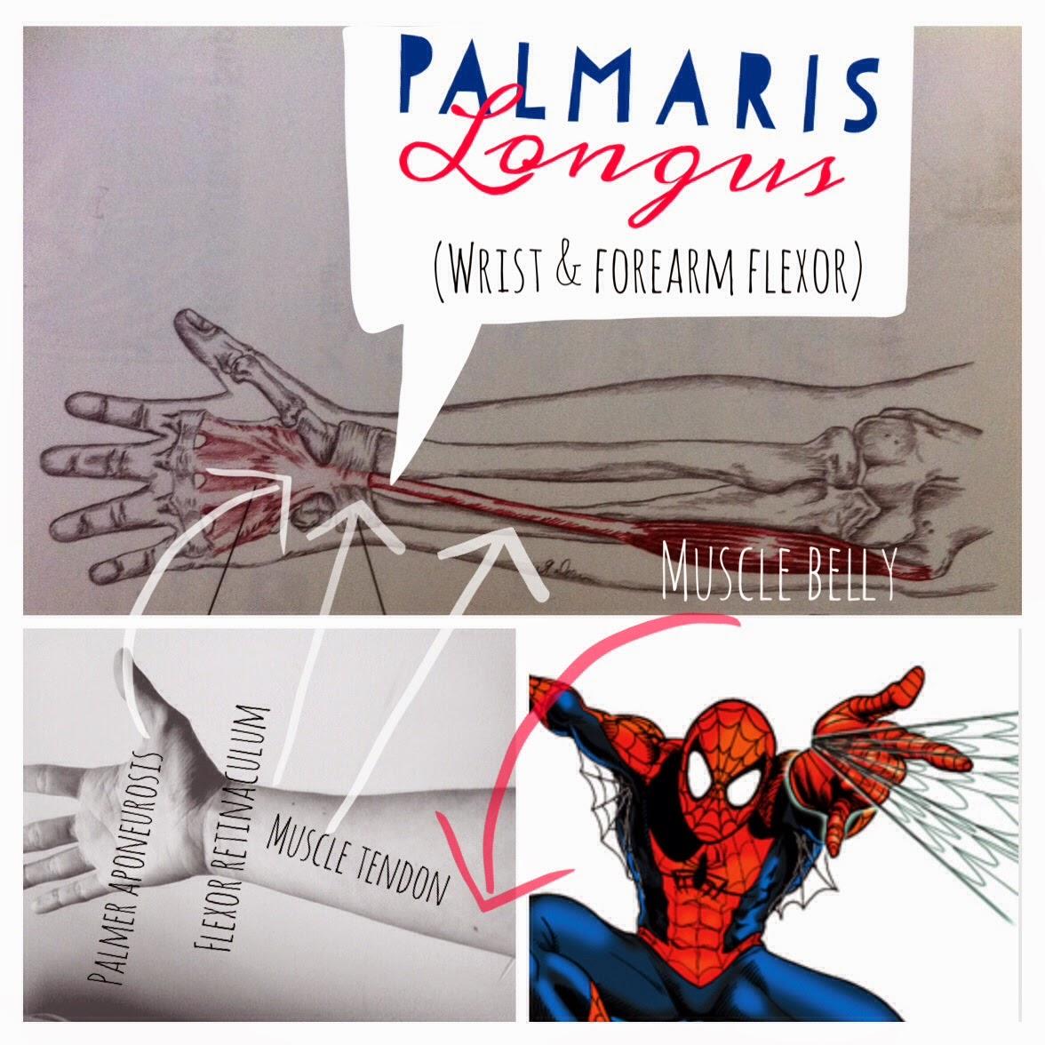 The Hip Joint: Palmaris Longus : wrist flexor muscle