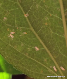 Whitefly adults and eggs on underside of leaf