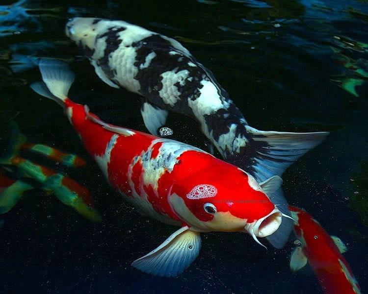 Peixes xd carpa koi for Comida para carpas koi