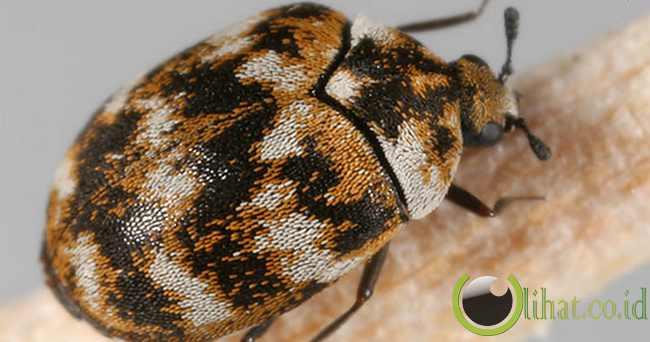 Kumbang Dermestid