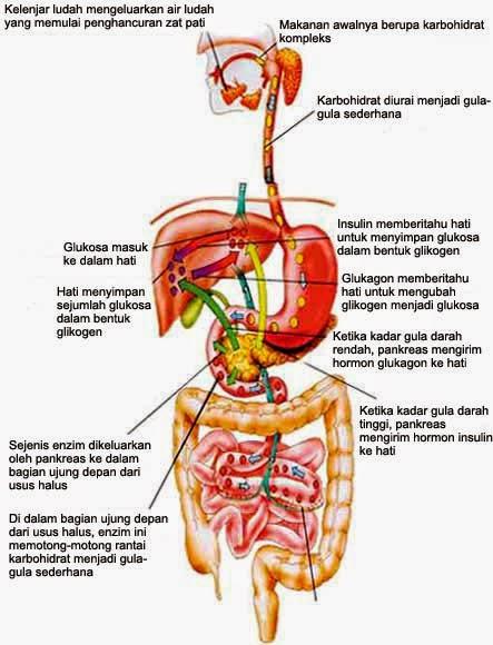 Sistem Pencernaan makanan