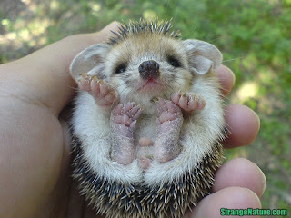 cutest hedgehog ever seen