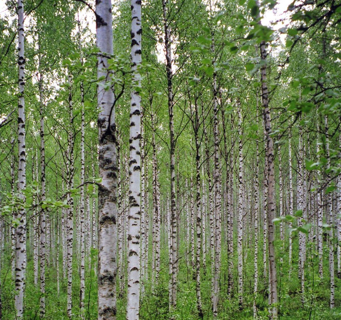 http://1.bp.blogspot.com/-9zsuyvvBC0k/UBO6-_A5StI/AAAAAAAACoI/QG9CJZ3DNDk/s1600/birch-trees.jpg