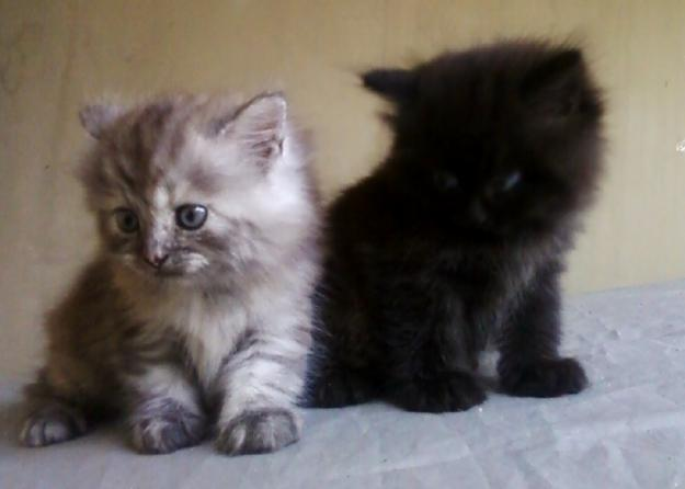Cara Merawat Kucing Persia Henny S Petshop