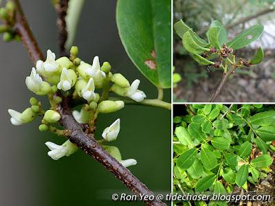 Dalbergia (Dalbergia candenatensis)