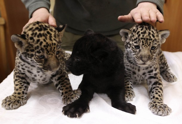 baby jaguar animal pictures. aby jaguar animal pictures.
