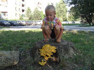 Grzyby w sierpniu, grzyby w mieście, grzyby w Krakowie, żółciak siarkowy, Laetiporus sulphureus