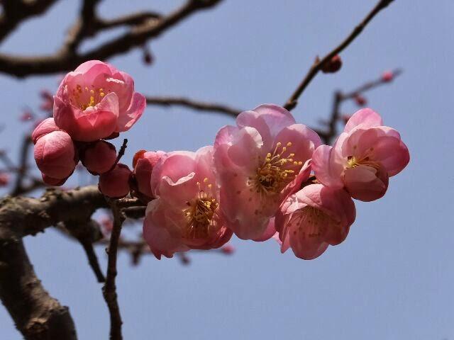 遅咲き大輪のサクラ梅。