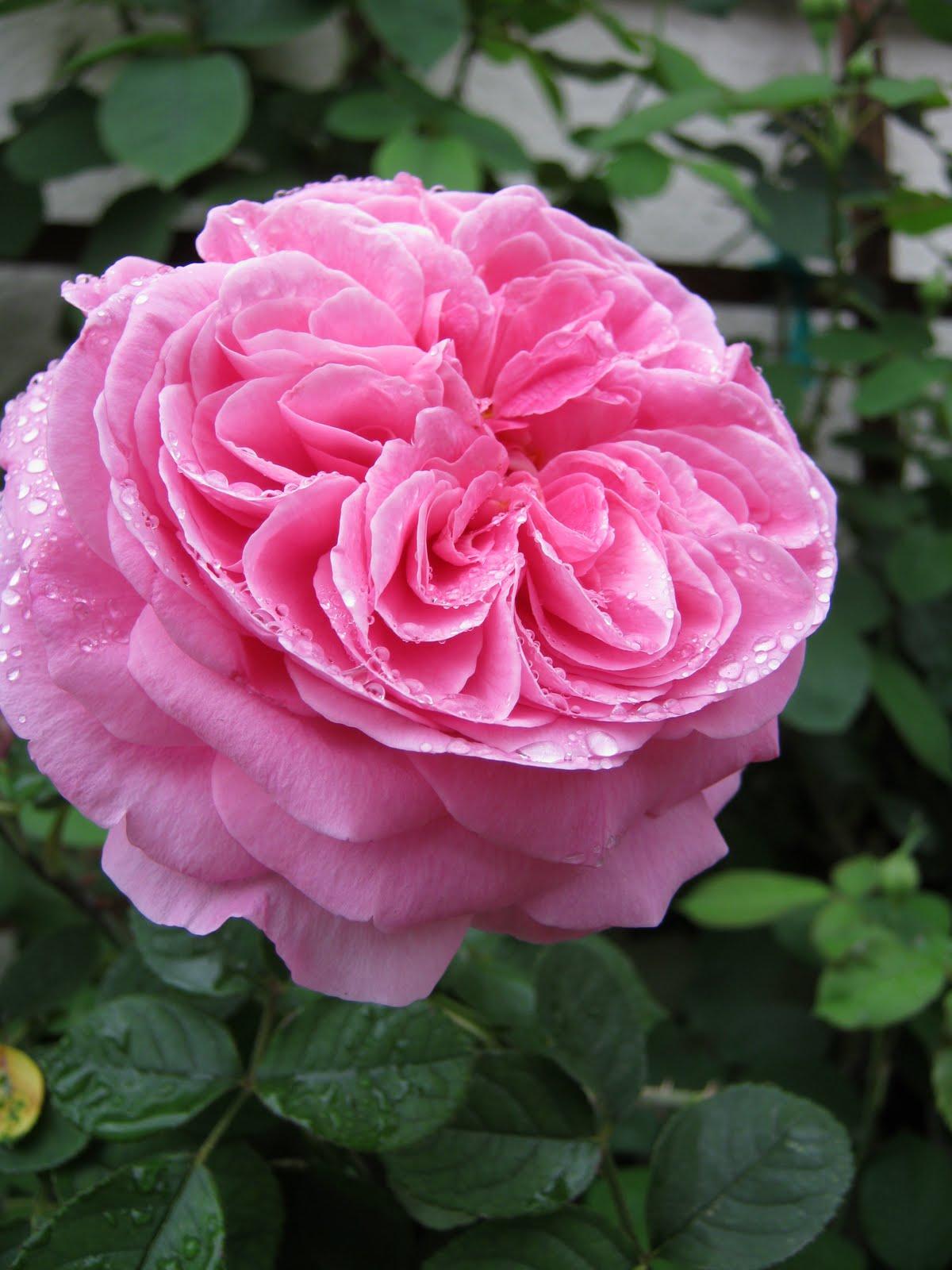 what grows in fullerton rosa gertrude jekyll. Black Bedroom Furniture Sets. Home Design Ideas