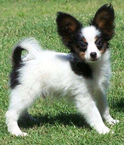 papillon chihuahua mix. Papillon Dog The Speed Running