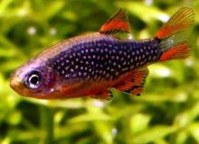 Freshwater Fish for Aquascape Aquarium Rasbora Galaxy Rasboras