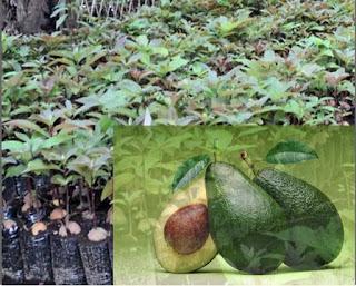 tanaman alpukat
